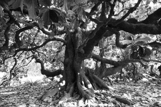 Grandi alberi della Bergamasca ~ La magnolia di Villa Finardi, Bergamo