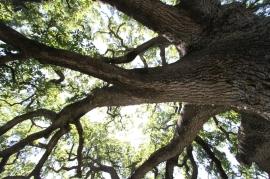 La grande quercia del Salento