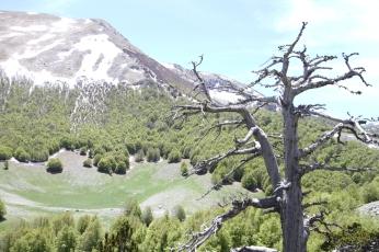 Il pino loricato Italus
