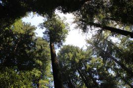 Tra le sequoie della California