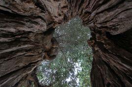 Nel tronco di un monumento vivente della Piana degli ulivi