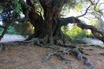 L'olivastro di 3000 anni a Luras